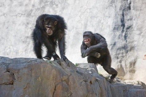 Fighting-Chimps-eecue_29995_8xph_l