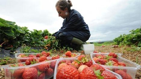 brocksbushesstrawberries